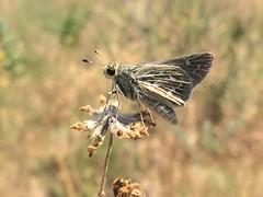 Uncas Skipper (Hesperia uncas), Coalton Trail, Boulder, Colorado (palmchat) Tags: uncasskipper uncas hesperiauncas hesperia skipper butterfly christiannunes
