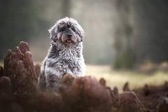magic forest (mona_hoehler) Tags: dog pet animal golden doodle magic forest model shooting nikon tamron düsseldorf solingen blue merle hund