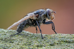 Polsterfliege / Schmeißfliege - Pollenia spec. (Calliphoridae) (AchimOWL) Tags: makro macro natur nature tier insekt animals insect gx80 wildlife fliege outdoor stack stacking heliconfocus ngc fly fauna polsterfliege postfocus