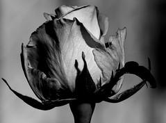 Róża B&W. (andrzejskałuba) Tags: poland polska pieszyce plant panasonicdmcfz200 lumix dolnyśląsk silesia sudety europe roślina kwiat flower flora floral rose róża macro monochrome beautiful black blackwhite white czarny biały garden ogród cień shadow grey szary 1000v40f 1500v60f