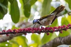 Blue-faced Honeyeater 3 (petefeats) Tags: australia bluefacedhoneyeater brisbane entomyzoncyanotis meliphagidae nature passeriformes queensland sw umbrellatree