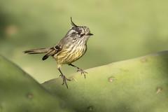 Cachudito (ik_kil) Tags: cachudito tuftedtittyrant anairetesparulus sanjosédemaipo regiónmetropolitana avesdechile birds chile