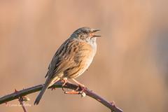 Dunnock in full song 501_7246.jpg (Mobile Lynn) Tags: dunnock birds nature bird fauna passerine prunellamodularis wildlife hurst england unitedkingdom gb coth5 ngc npc