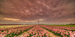 A big fan of flowers. (Alex-de-Haas) Tags: 11mm adobe blackstone d850 dutch hdr holland irix irix11mm irixblackstone lightroom nederland nederlands netherlands nikon nikond850 noordholland photomatix photomatixpro beautiful beauty bloem bloemen bloementeelt bloemenvelden cloud clouds cloudscape drama dramatic floriculture flower flowerfields flowers hyacint hyacinten hyacinth hyacinths hyacinthus hyacinthusorientalis landscape landschaft landschap lente lucht mooi nature natuur polder skies sky skyscape spectaculair spectacular spring sun sundown sunset wolk wolken zonsondergang