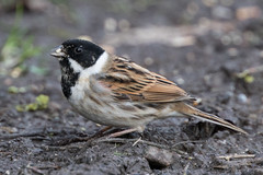 Reed Bunting, male (The Treerunner) Tags: reedbunting