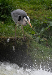 DSC_7715.jpg (dan.bailey1000) Tags: bird cork wildlife donerailepark ireland greyheron