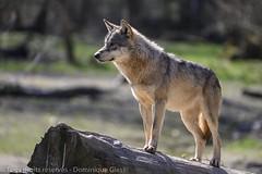 Parc animalier de Sainte Croix - Saison 2019 (1) (dom67150) Tags: europeangreywolf france lorraine loupgrisdeurope moselle parcanimalierdesaintecroix rhodes