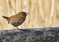 wren1 (paulmorshead) Tags: birds wren rainham