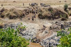Maasai Mara, Kenya (Ninara31) Tags: safari kenya maasai maasaimara masai wildlife wildanimal zebra river africa