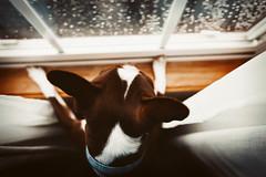 (Rebecca812) Tags: pets window dog animal cute fromabove wideangle rain curtains bostonterrier directlyabove love petportrait nopeople wood windowsill glass reflection raindrops