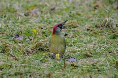 Grünspecht / Picus viridis / green woodpecker (Bernd Götz) Tags: greenwoodpecker picusviridis grünspecht nymphenburgerparkmünchen