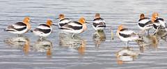 Avocets (mhawkins) Tags: americanavocet recurvirostraamericana avocet bird birds harrimanlake