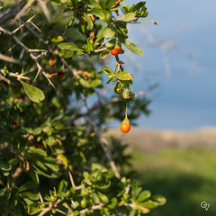 Berries (Gér@ld) Tags: tunisia uthina oudna oudhna nature