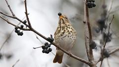Hermit Thrush (Sandra_Gilchrist) Tags: sandragilchrist hermit thrush hermitthrush bird avian fruit darlingtonprovincialpark darlington provincialpark clarington ontario