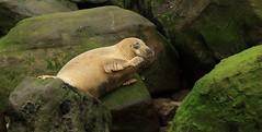 Hi Guys! (nick.linda) Tags: greyseal halichoerusgrypus seals yorkshirecoast mammals northsea wildandfree canon7dmkii canon100400mkll