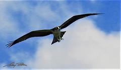 American Eagle (selimbitar) Tags: freedom massachusetts prestonrd american eagle birds