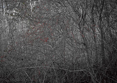 Underbrush with Red Berries (See ericgrossphotography.com) Tags: nature abstract winter patterns