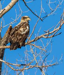 Bald Eagle (explored) (Lynn Tweedie) Tags: wood baldeagle beak tail wing canon ngc animal loessbluffsconservationarea blue 7dmarkii missouri bird winter sky tree eos eye feathers sigma150600mmf563dgoshsm