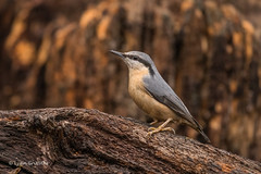 Nuthatch D85_6897.jpg (Mobile Lynn) Tags: nature nuthatchestreecreepers birds nuthatch bird eurasiannuthatch fauna passerine sittaeuropaea sittidae wildlife coth specanimal coth5
