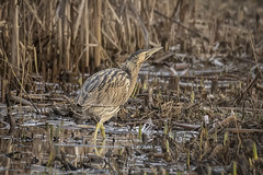 Bittern (cazalegg) Tags: bird bittern leighton moss reed nature nikon wildlife bed reeds camouflage