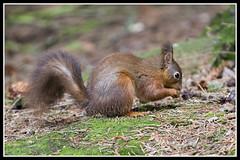 IMG_0054 Red Squirrel (Scotchjohnnie) Tags: redsquirrel sciurusvulgaris squirrel squirrelphotography mammal rodent wildanimal wildlife wildlifephotography wildandfree nature naturephotography canon canoneos canon7dmkii canonef70200mmf28lisiiusm scotchjohnnie