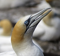 Australasian Gannet (tedell) Tags: australasian gannet adult muriwai colony rodney district county auckland new zealand december 2018 bird