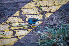 Blue Waxbill (royknights53) Tags: blue waxbill bluewaxbill