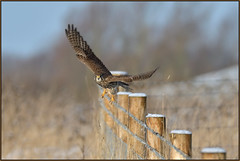 Kestrel (image 1 of 2) (Full Moon Images) Tags: wicken fen burwell nt national trust wildlife nature reserve cambridgeshire bird birdofprey kestrel flight flying
