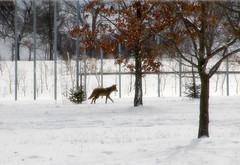 Coyote, coyote.... (LotusMoon Photography) Tags: coyote animal wildlife wild nature arboretum trees mortonarboretum winter snow snowcovered snowy annasheradon lotusmoonphotography