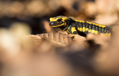 Notre dragon II (Eric Penet) Tags: salamandre salamander firesalamander tachetée animal sauvage hiver france faune wildlife wild amphibien batracien halatte forêt oise picardie macro macrophotographie