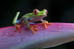 Red-eyed Tree Frog (Agalychnis callidryas) (Hamilton Images) Tags: redeyedtreefrog agalychniscallidryas frog amphibian bocatapada costarica canon 5dmarkiv 180mm macro january 2019 juancarlosvindasphototours neotropicphototours imgdl7a0641