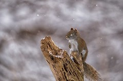 Daydreaming - EXPLORED (March 4, 2019) (JD~PHOTOGRAPHY) Tags: redsquirrel wild wildlife wildanimal mammal squirrel winter snowy northamericanwildlife ontario canon canon6d