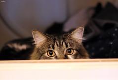 """Clean, """"Furry"""" Clothes (Lisa Zins) Tags: lisazins cat feline petsandanimals pets animals elijah tabby eyes dryer"""