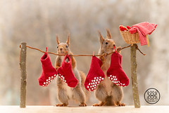 red squirrels standing with a laundry line with stockings (Geert Weggen) Tags: laundryline redsquirrel laundry line red squirrel stockings animal basket card care celebration close color concepts cute day event funny gift greeting happy cloth clothing nature geert weggen ragunda sweden bispgården jämtland geertweggen hardeko
