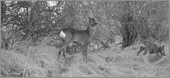 Roe Deer Stag 03120136 (dark-dave) Tags: bushnell wildlife deer stag roedeer