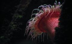 Sea anemone (Violet aka vbd) Tags: pentax k1ii k1markii hdpentaxda55300mmf4563edplmwrre il illinois chicago vbd seaanemone pink sheddaquarium whitespottedroseanemone 2019 winter2019 handheld manualexposure