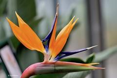 EN8A5088 (Karin Michies) Tags: botanischetuinen botanischetuinenutrecht universiteitutrecht utrechtuniversity botanicalgardens bloemen flowers natuur nature paradijsvogelbloem vogelkopbloem birdofparadiseflower birdsheadflower