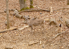 DILO - March 20 2019 Equinox (14) (tommaync) Tags: dilomar2019 equinox spring 2019 march nikon d7500 northcarolina nc dilo nature animals wildlife deer trees doe