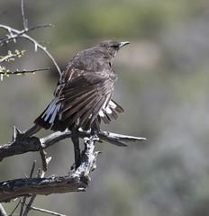 Mountain Wheatear (Myrmecocichla monticola)-9884 (Dave Krueper) Tags: africa aves bird birds landbird mowh muscicapidae passeriformes passerine southafrica wheatear