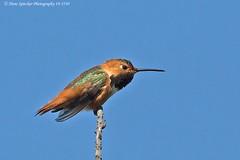 Allen's Hummingbird 19-3530 (Hans Spiecker Photography) Tags: allenshummingbird california sepulvedadam