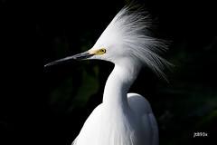 Snowy Egret (jt893x) Tags: 150600mm bird breeding d500 egret egrettathula heron jt893x nikon nikond500 portrait sigma sigma150600mmf563dgoshsms snowyegret thesunshinegroup coth alittlebeauty coth5 sunrays5 ngc