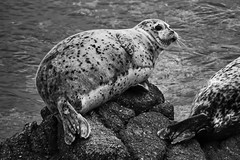 Pecas (mgschiavon) Tags: blackandwhite blackwhite bw animal sea sealions california nature