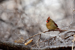 Winter Lady (rdodson76) Tags: cardinal bird avian animal wildlife wild nature wilderness forest winter seasonal frozen birdwatching birding female