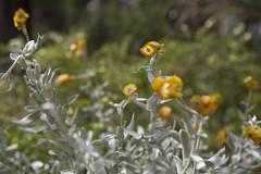 (louisa_catlover) Tags: karwarra garden karwarraaustraliannativebotanicgarden dandenongs outdoor nature flowers daisies paperdaisies everlasting asteraceae bokeh dof australian native