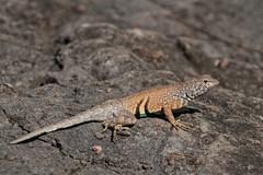 Greater Earless Lizard (PhotonFreak) Tags: greaterearlesslizard
