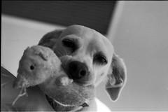 18-1231-2_2.jpg (richerrd) Tags: dogs 2018 50mm hp5 bw 135 film om2