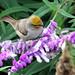 Verdin (Auriparus flaviceps); Tucson, Arizona, Tohono Chul Park, [Lou Feltz] (deserttoad) Tags: nature arizona animal bird songbird verdin shrub flower desert behavior