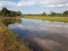 Reflections in flooded paddies 2 (SierraSunrise) Tags: agriculture esarn farming flooded isaan nongkhai paddyrice phonphisai reflections rice ricepaddies ricepaddy thailand water