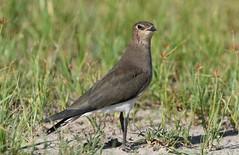 Black-winged Pratincole  (Glareola nordmanni) (Ian N. White) Tags: blackwingedpratincole glareolanordmanni mmeapan botswana