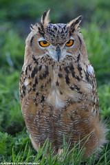 European eagle owl - Falconry fair (Mandenno photography) Tags: animal animals dieren nature natgeo natgeographic bird birds birdofprey european europeese oehoe uil uilen falconry fair falconryfair ngc nederland netherlands tilburg